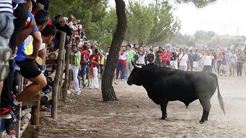 """GRA147 TORDESILLAS (CASTILLA Y LEÓN) 16/09/14. El toro """"Elegido"""" durante el Torneo del Toro de la Vega que se ha celebrado hoy en Tordesillas (Valladolid), en el que al menos cuatro personas han resultado heridas por asta, al parecer una de ellas de carácter graveEFE/R. GARCIA."""